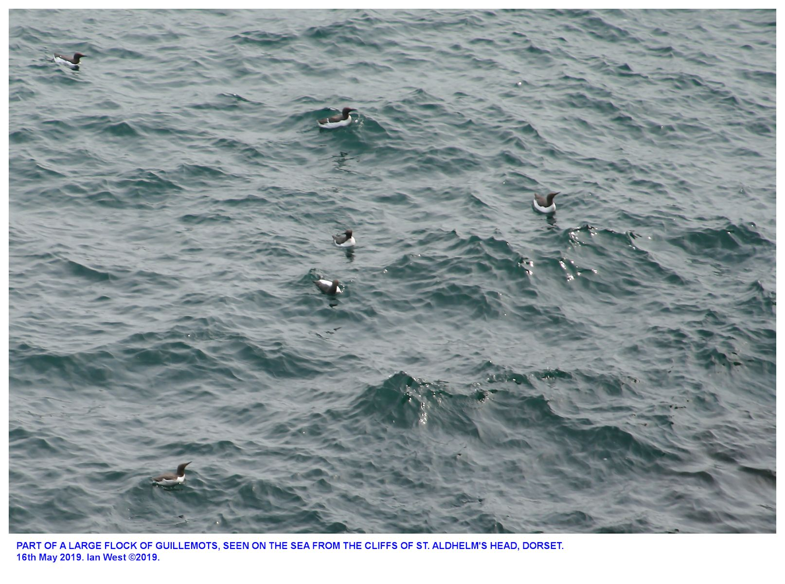 Part of large flock of guillemots adjacent to the cliffs at St. Aldhelm's Head, Dorset, 18th May 2019