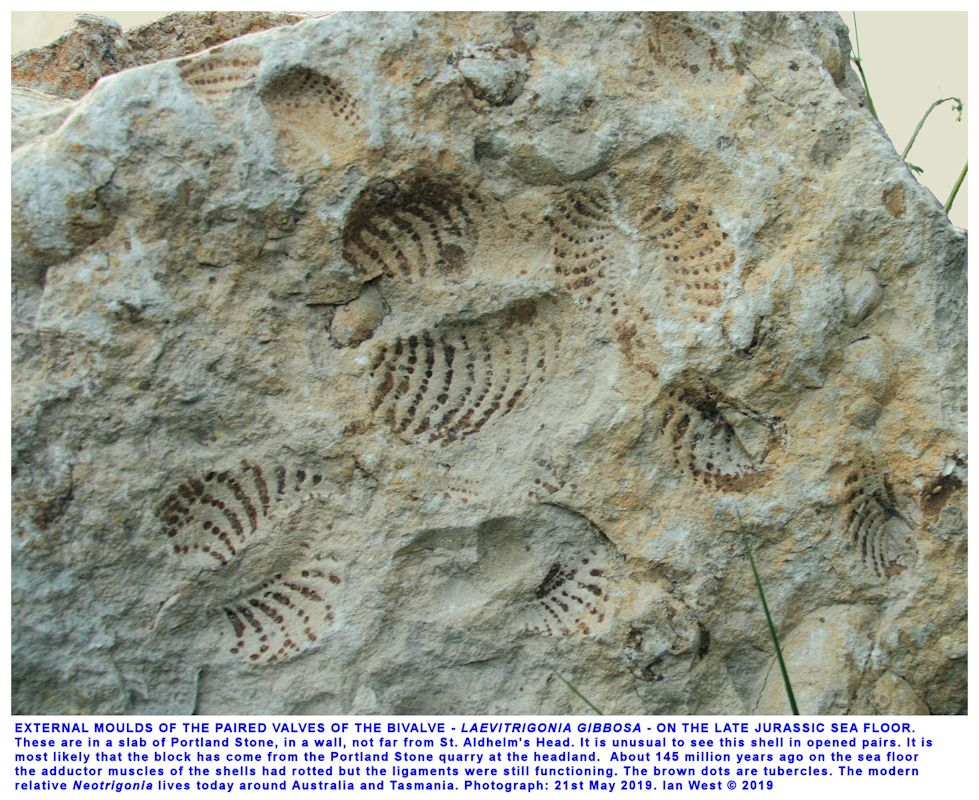 Impressions of the open paired bivalves, Laevitrigonia gibbosa (J. Sowerby), in a slab of Portland Stone, in a wall not far from St. Aldhelm's Head, Dorset