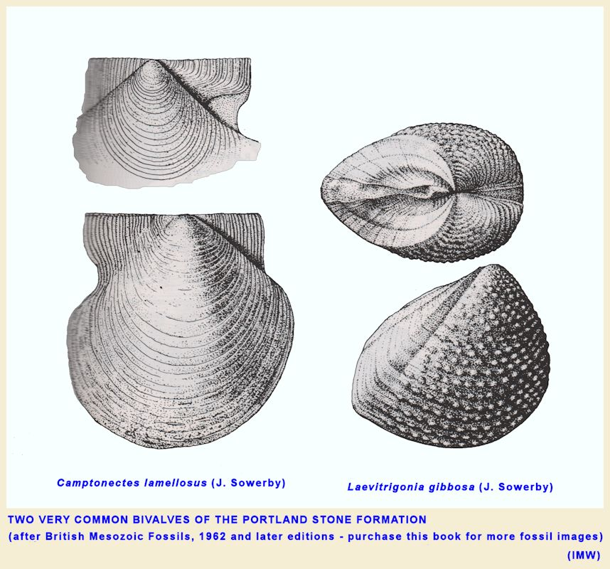Two species of fossil bivalves that are very common in the Portland Stone Formation