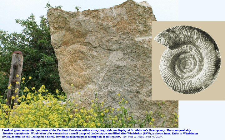 Giant ammonite, probably Titantites anguiformis Wimbledon from the Portland Freestone at St. Aldhelm's Head Quarry, Isle of Purbeck, Dorset