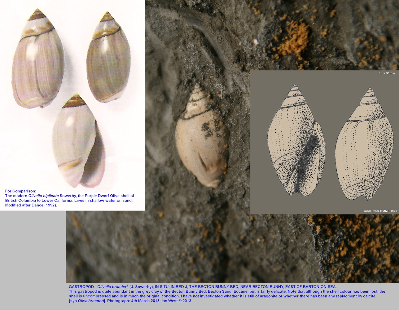 The gastropod, Olivella branderi, in Bed J, the Becton Bunny Bed, east of Barton-on-Sea, Hampshire, 2013