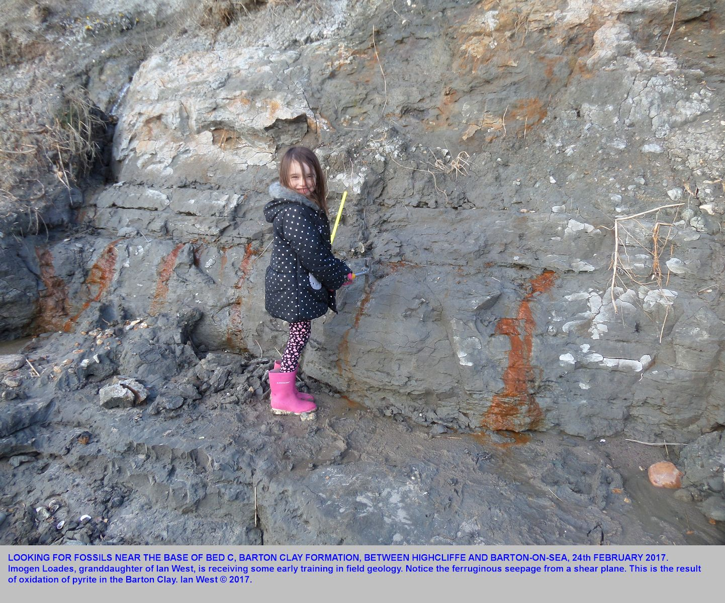 The fossiliferous Barton Clay in the cliffs between Highcliffe and  Barton-on-Sea, Hampshire, with Imogen Loades, fossil collecting, 24th February 2017