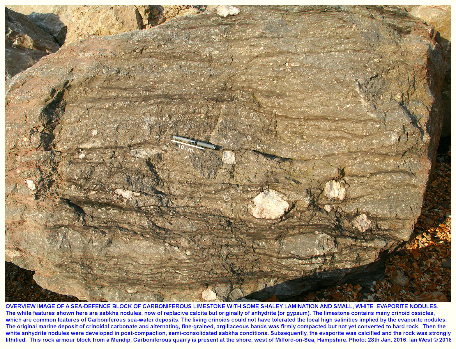 General overview of a calcite-replaced anhdydrite or gypsum nodules in Carboniferous Limestone rock armour at Milford-on-Sea, west of Barton-on-Sea, Hampshire
