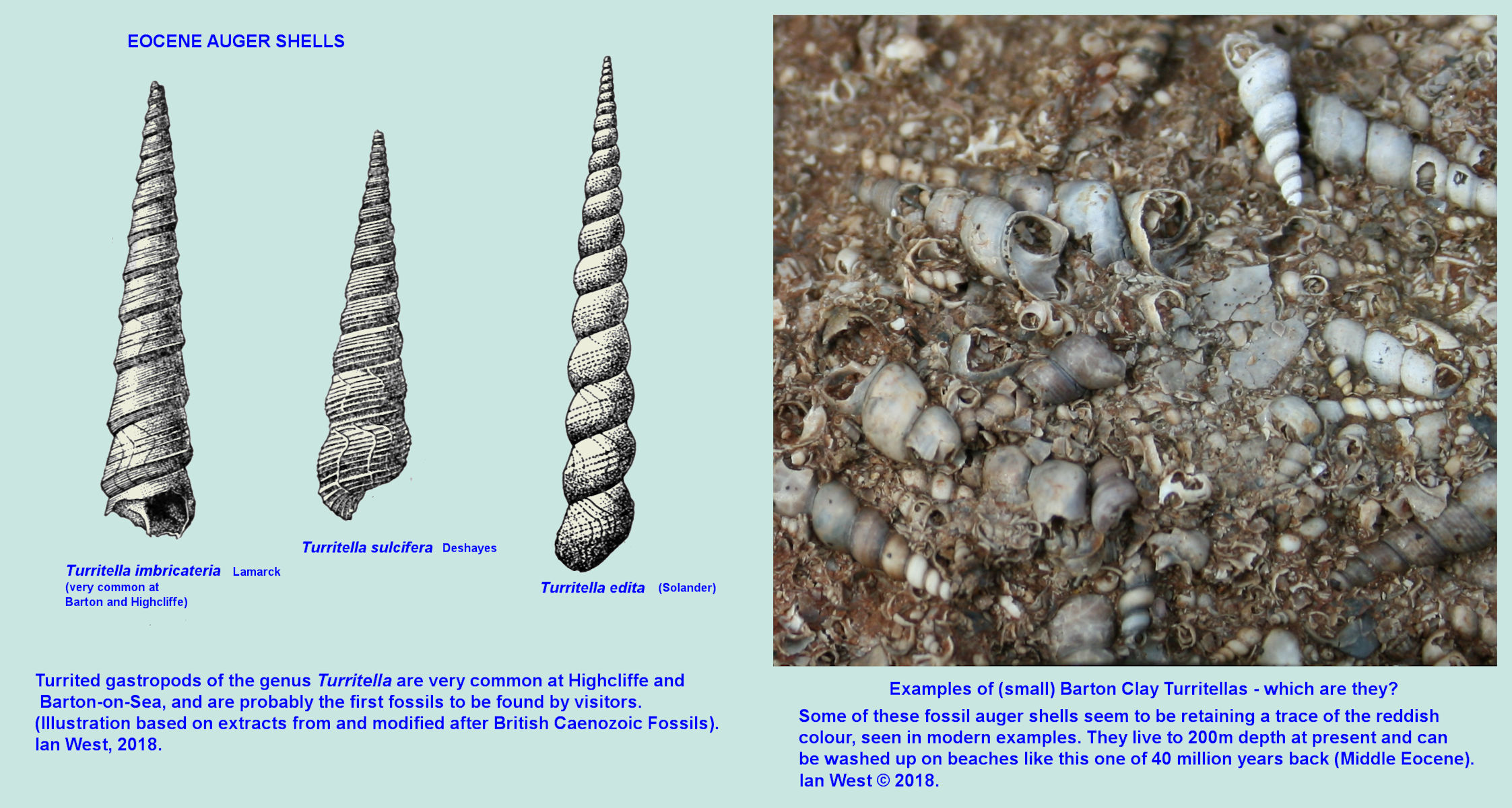 The fossil Turritella, auger shells of the Eocene Barton Clay Formation at Barton-on-Sea, Hampshire, southern England