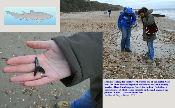 Finding sharks' teeth washed out of the Barton Clay between Highcliffe and Barton-on-Sea, Hampshire, 24 November 2007