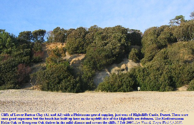 Exposures of the Lower Barton Clay are poor near Highcliffe Castle because of build-up of the beach and rampant growth of the Holm Oak or Evergreen Oak, Quercus ilex, over the cliffs