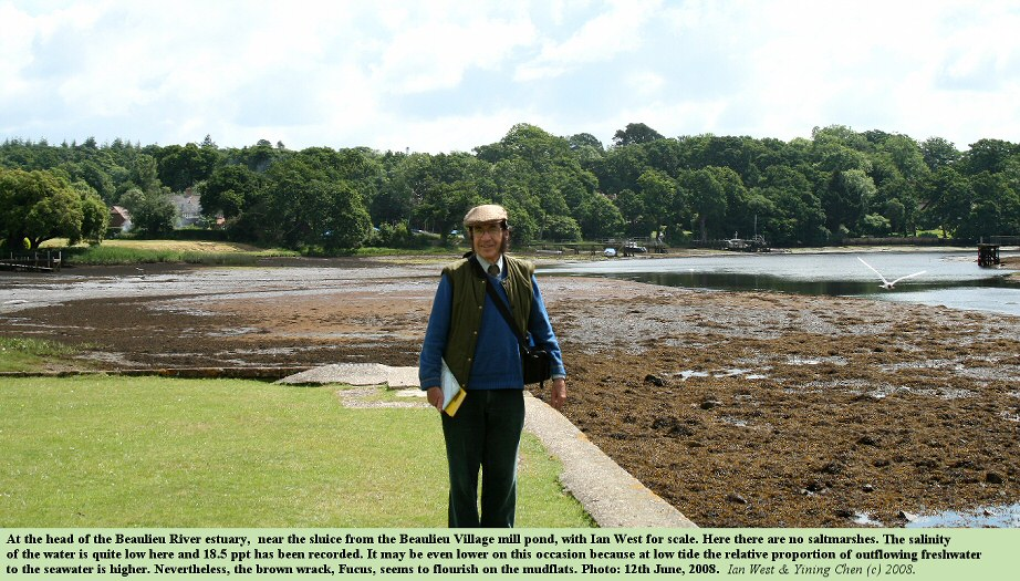 The head of the Beaulieu River estuary near the sluice at Beaulieu Village, with Fucus on the mudflats and Ian West on the bank, low tide, 12th June 2008