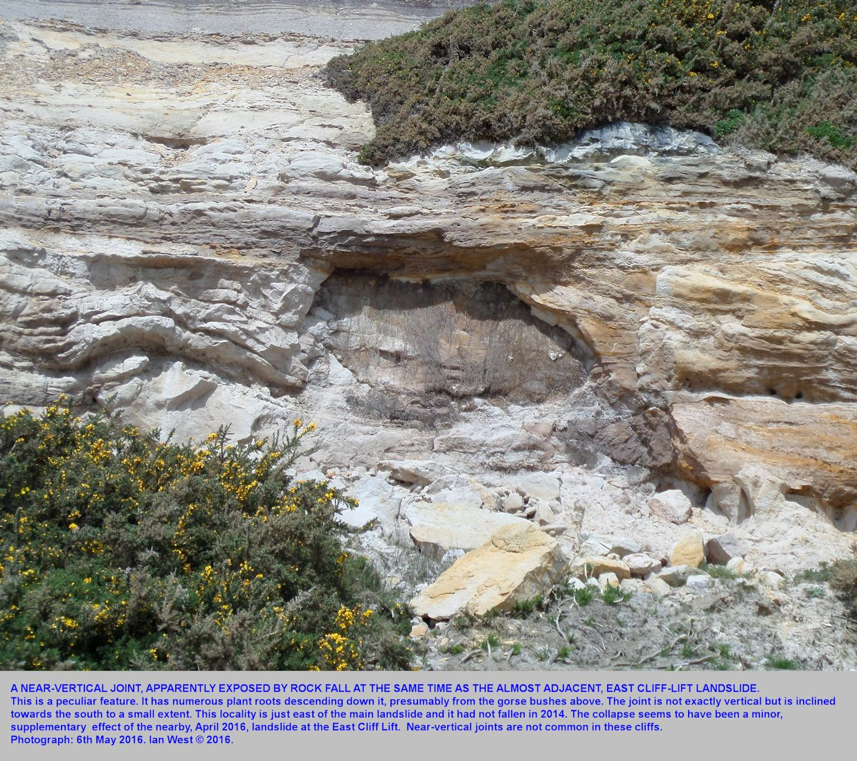 A near-vertical joint with plant roots that was exposed, probably at the same time as the 2016 East Cliff Lift Landslide, Bournemouth, Dorset, this is just to the east of the main cliff-fall