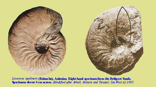 <I>Leioceras opalinum</I>, a species of ammonite present in the uppermost Bridport Sands, Dorset