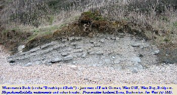 Wattonensis Brachiopod Beds at Fault Corner, near Eype's Mouth, Bridport Area, Dorset in 2005