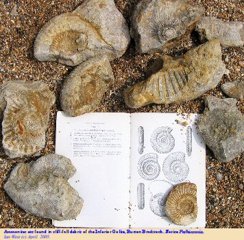 Ammonites from a rock fall of Inferior Oolite at Burton Bradstock, near Bridport, Dorset, April 2005