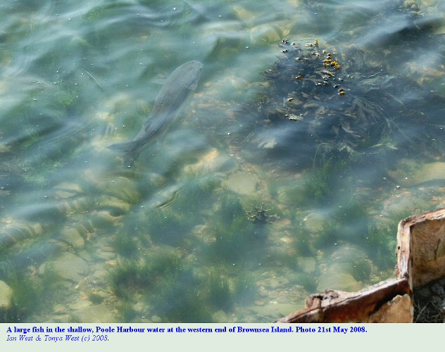 A large fish in the clear water of Poole Harbour at the western end of Brownsea Island, Dorset, UK