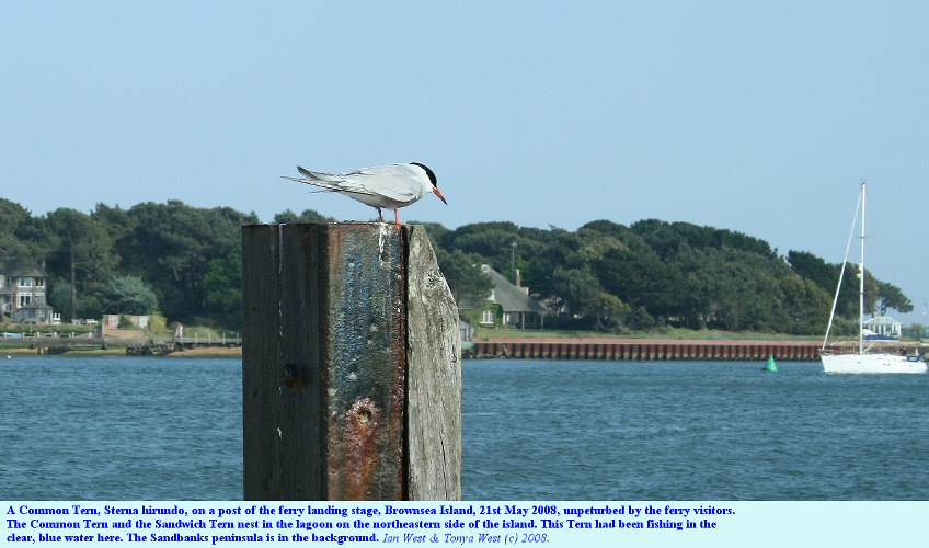 A Common Tern, Sterna hirundo, rests on a post at Brownsea Island, Poole Harbour, Dorset,UK, May 2008
