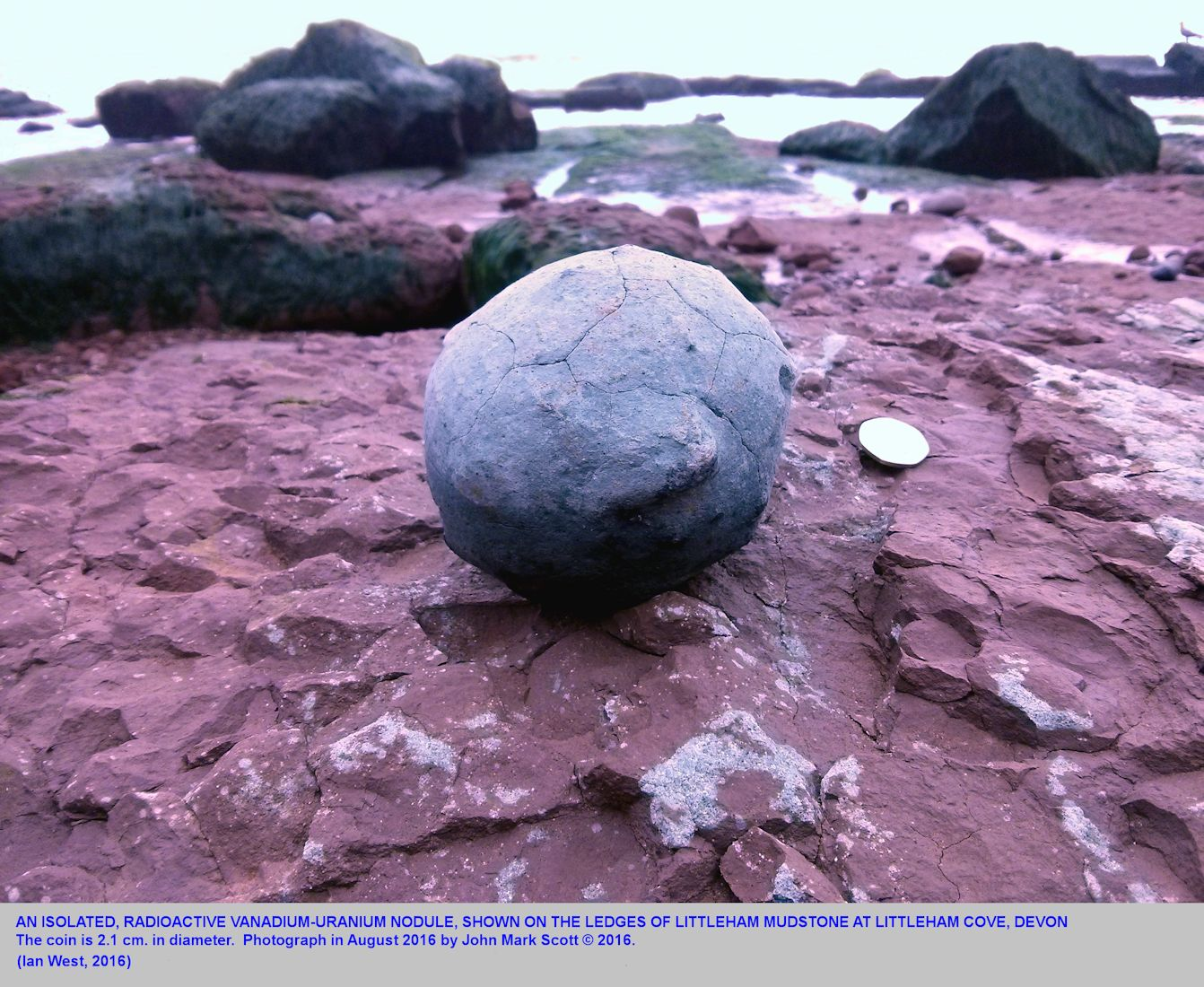 A large spherical, radioactive vanadium-uranium nodule found at Littleham Cove, Budleigh Salterton, Devon, and placed on a beach ledge of the Littleham Mudstone Formation from which it came - photograph by Jason Mark Scott, August 2016