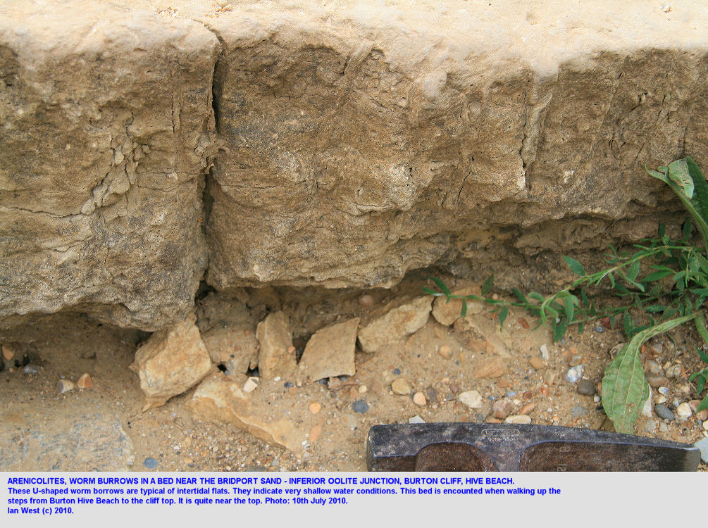 Arenicolites, worm burrows, in a bed near the junction of the Bridport Sands and the Inferior Oolite, Burton Bradstock, Dorset, 2010