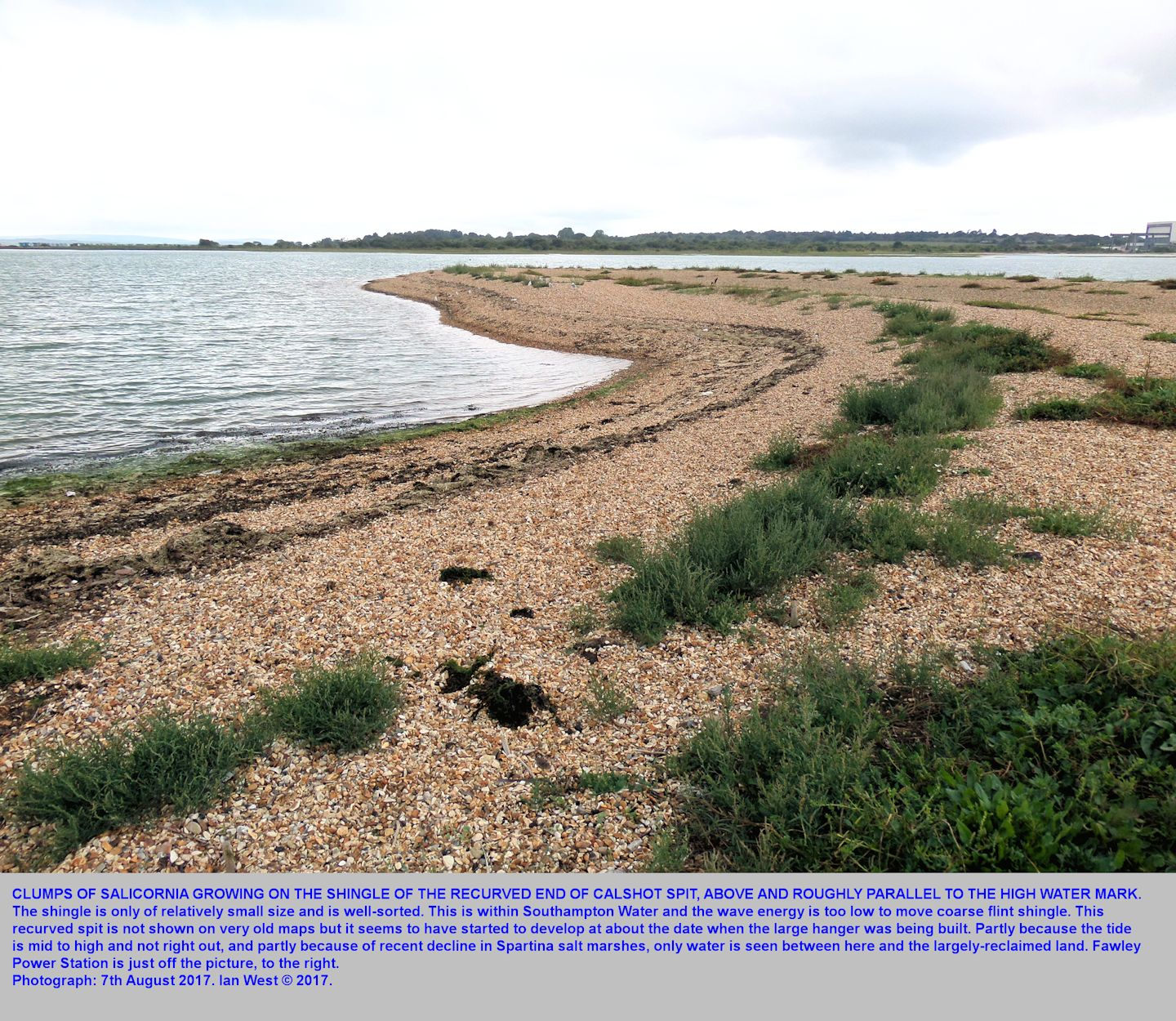 The relatively new, recurved, northwest end of Calshot Spit, with  medium shingle and some Salicornia plants, as seen in 2017