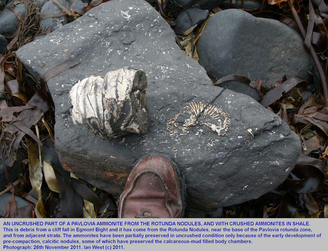 A fragment of the uncompacted body chamber of a Pavlovia ammonite in fallen debris at Egmont Bight, near Chapman's Pool, Dorset, 26th November 2011