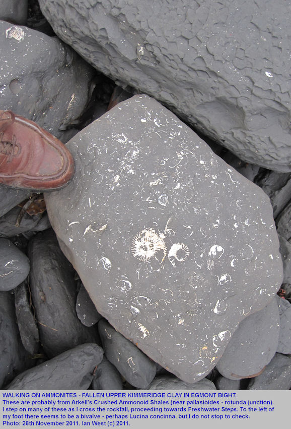 Walking on ammonites, present in fallen blocks of Upper Kimmeridge Clay in Egmont Bight, near Chapman's Pool, Dorset, 26th November 2011