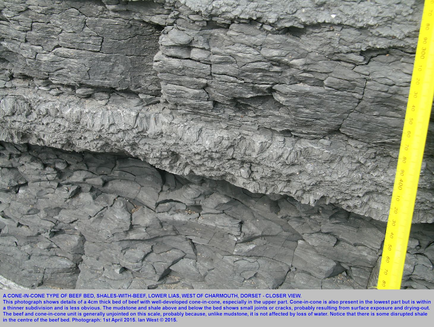 A closer view of a beef layer with well-developed cone-in-cone, Shales-with-Beef, Lower Lias, cliff near Black Ven, west of Charmouth, Dorset, 1st April 2015