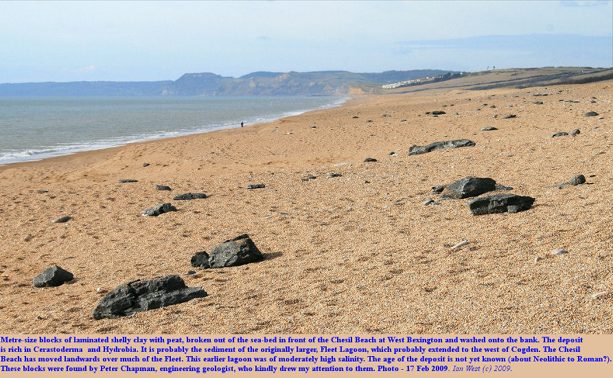 Blocks of laminated clay with Cerastoderma and Hydrobia on the Chesil Beach, at West Bexington, Dorset