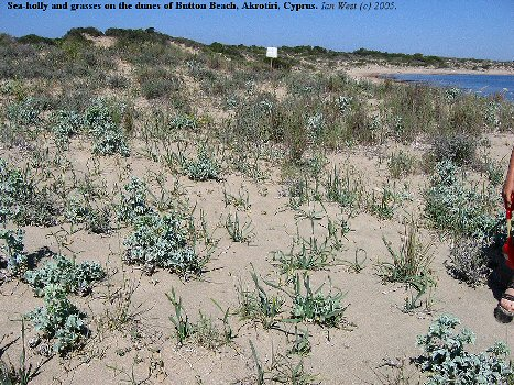 Sea-holly and grasses on sand-dunes at Button Beach, Akrotiri, Cyprus