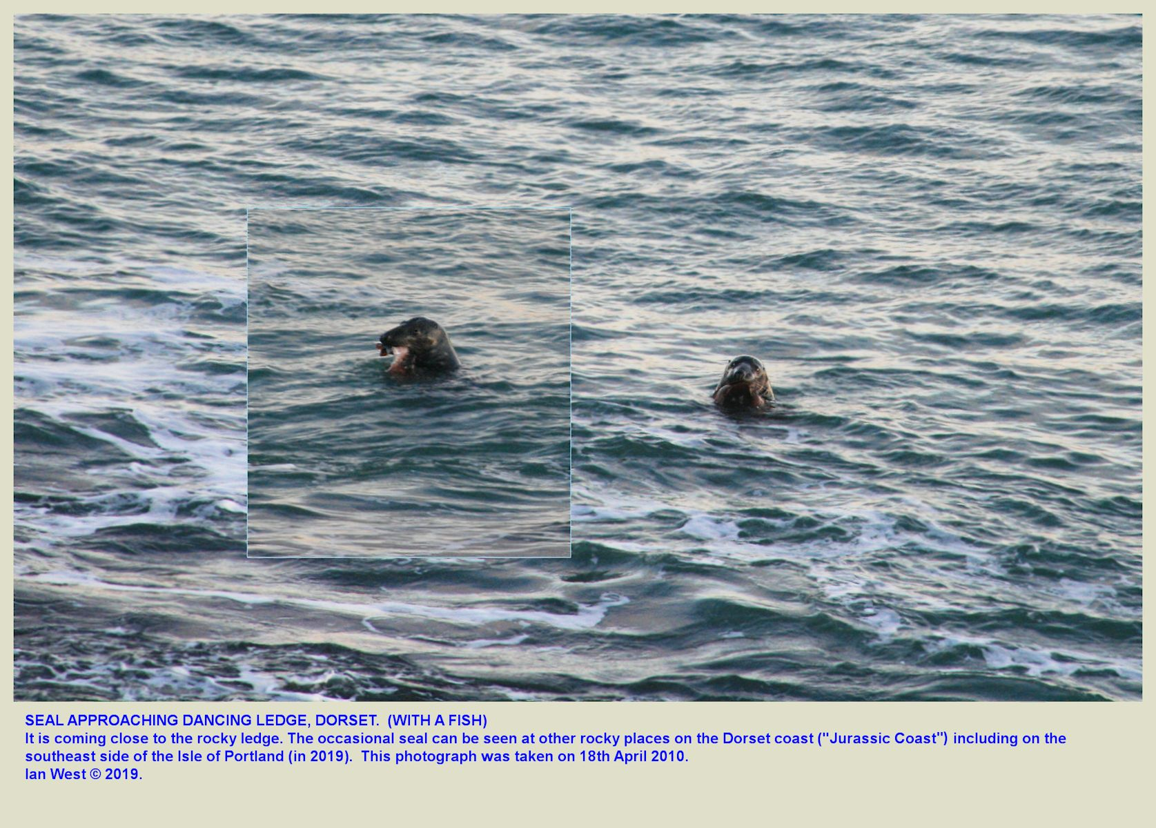 A seal, with a fish, just off the sloping limestone of Dancing Ledge, near Swanage, Isle of Purbeck, Dorset, 24th January 2009, added online 2019