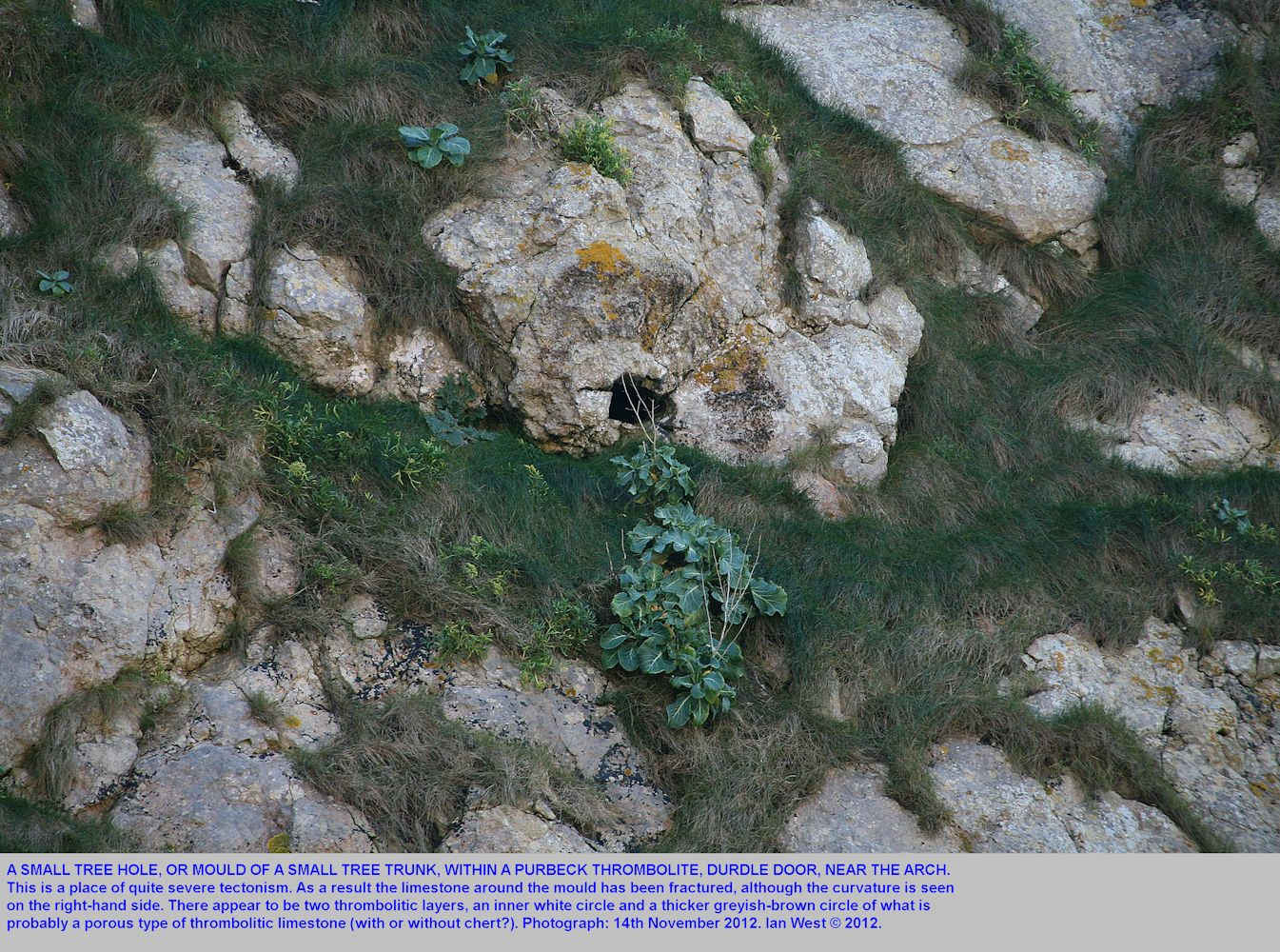 A small tree hole and surrounding thrombolite in the rock face near the arch of Durdle Door, Lulworth, Dorset, 14th November 2012