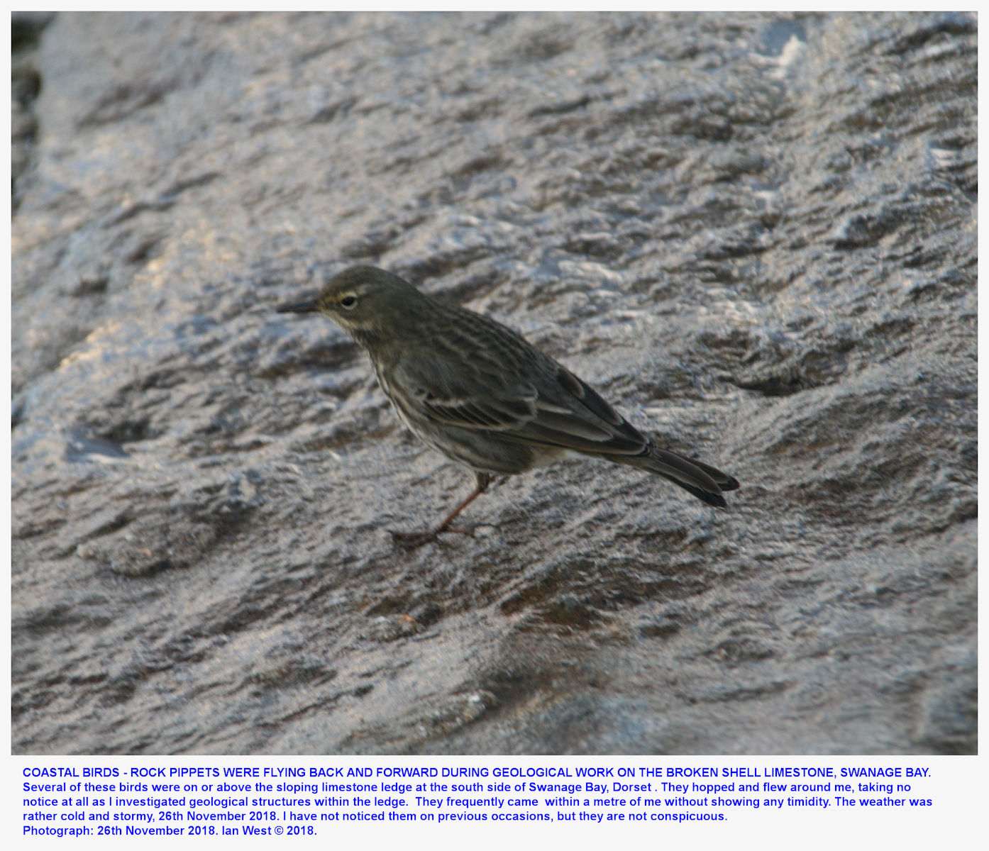 A rock pippet bird on the sloping ledge of Broken Shell Limestone, southeast of Swanage Pier, 26th November 2018