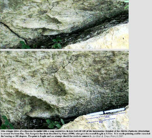 Dinosaur footprint with a long toe, in bed DB 118, Intermarine Member, Durlston Bay, Dorset, England