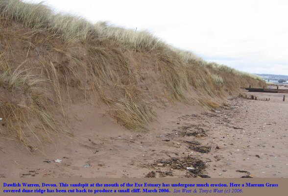 Erosion of a marram grass dune ridge at Dawlish Warren, Devon