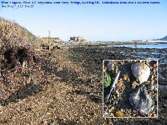 Kimmeridge and modern oysters at the Kimmeridge Clay exposure, northeast of Ferry Bridge, Fleet Lagoon, Dorset
