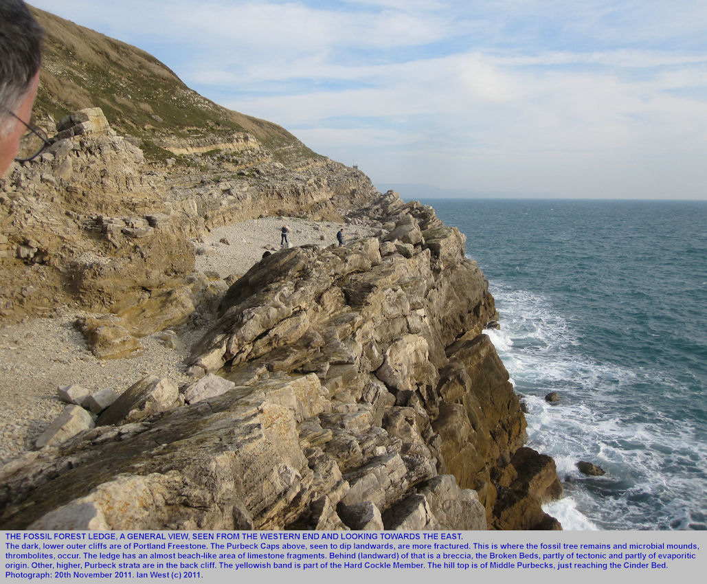 A general view of the Fossil Forest ledge, east of Lulworth Cove, Dorset, seen from the western end of the ledge, 20th November 2011