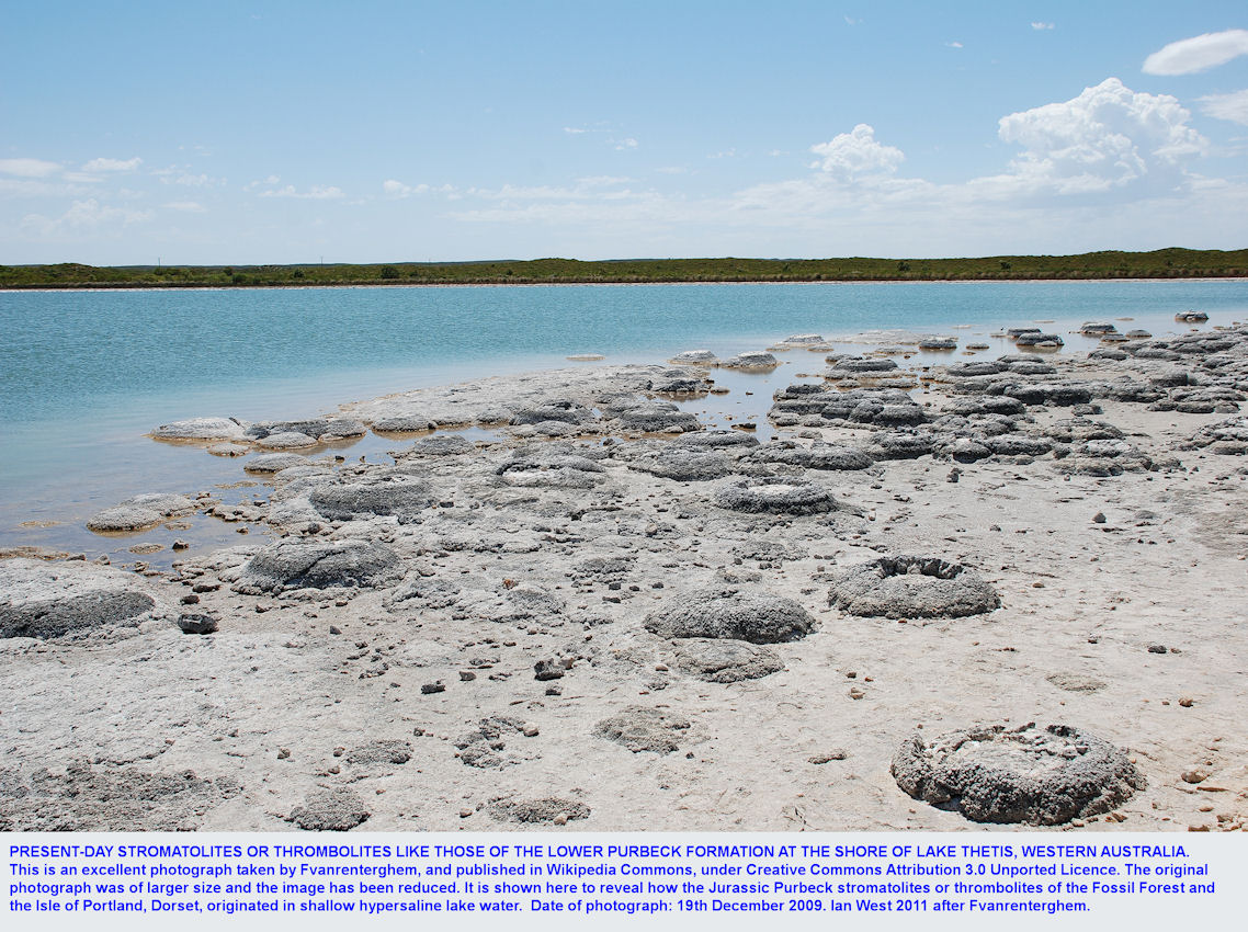Thrombolites at Lake Thetis, western Australia, comparable to the late Jurassic thrombolites of the Basal Purbeck Formation, Dorset