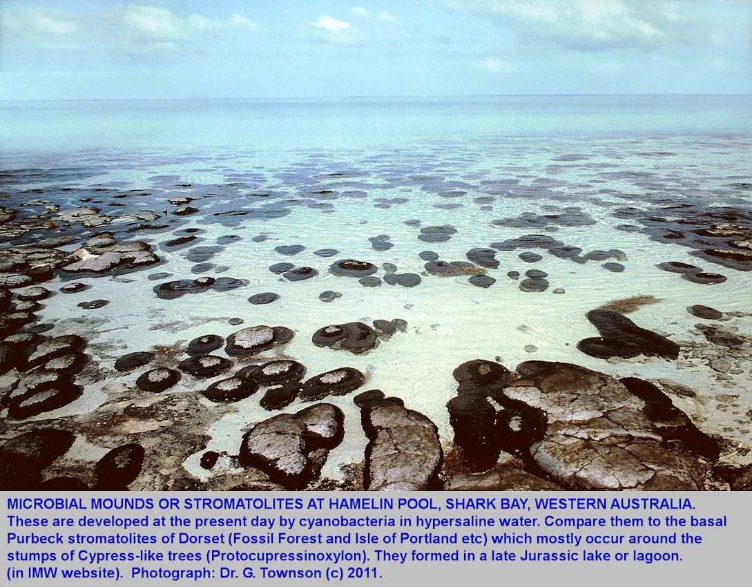 Stromatolites at Hamelin Pool, Shark Bay, Western Australia, in a photograph taken by Dr. Geoff Townson in 1981