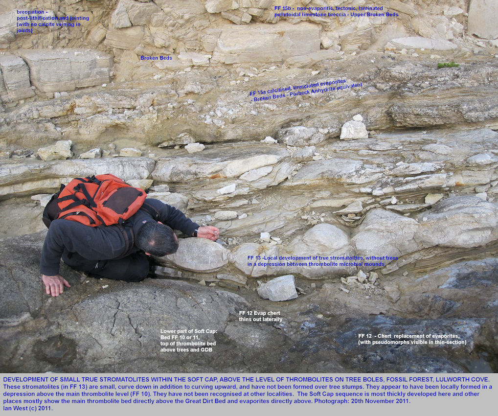 The true stromatolite bed, FF 13 of West (1975), in the basal Purbeck strata, and in association with evaporites, at the Fossil Forest ledge, east of Lulworth Cove, Dorset, 20th November 2011