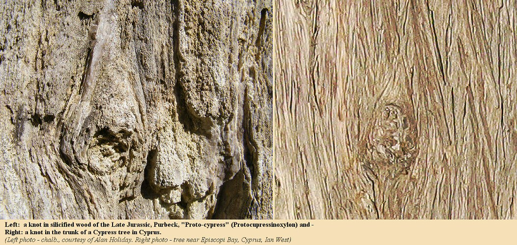 Knots in silicified, late Jurassic,  Protocupressinoxylon wood, Dorset, England, and in a modern Cypress tree in Cyprus