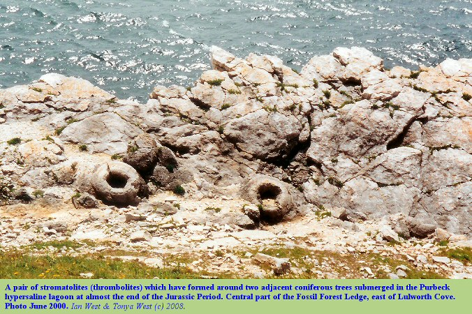 A conspicuous pair of thrombolites at the central part of the Fossil Forest Ledge, east of Lulworth Cove, Dorset, 2000