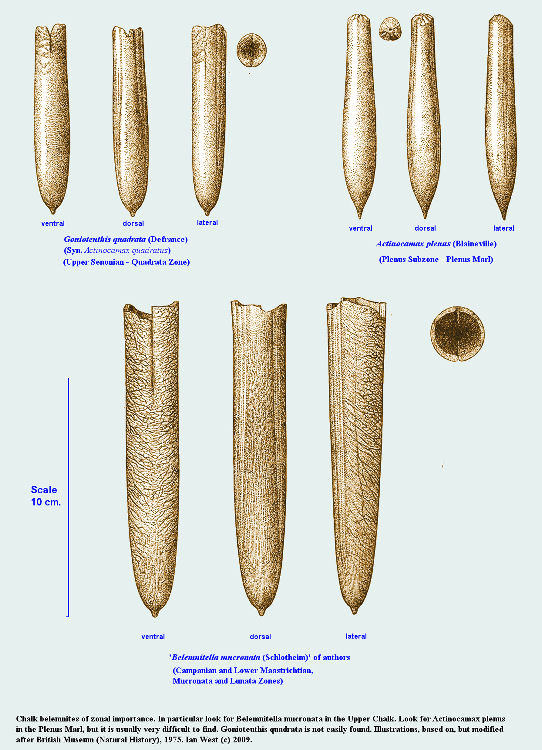 Chalk belemnites of zonal importance, in relation to the Chalk of Dorset and the Isle of Wight, England
