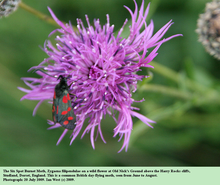 The Six Spot Burnet Moth on a wild-flower at Old Nick's Ground near Harry Rocks, Dorset, 20th July 2009