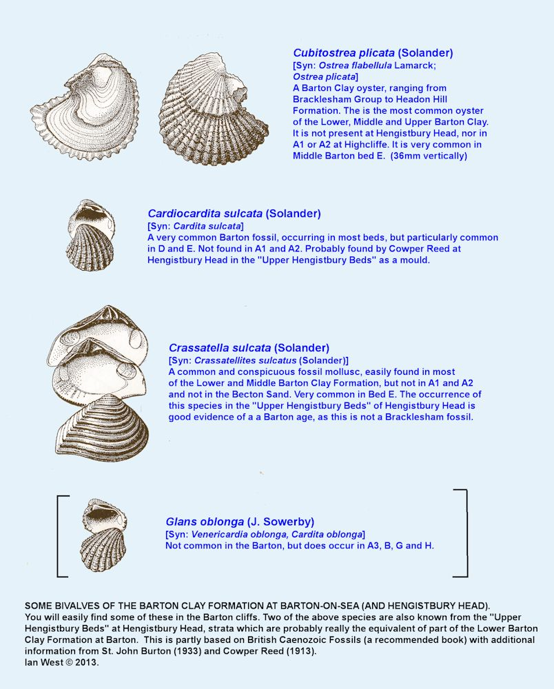Some selected fossil bivalves from the Barton Clay Formation, two species of which occur at Hengistbury Head, in addition to occurrence at Barton and Highcliffe