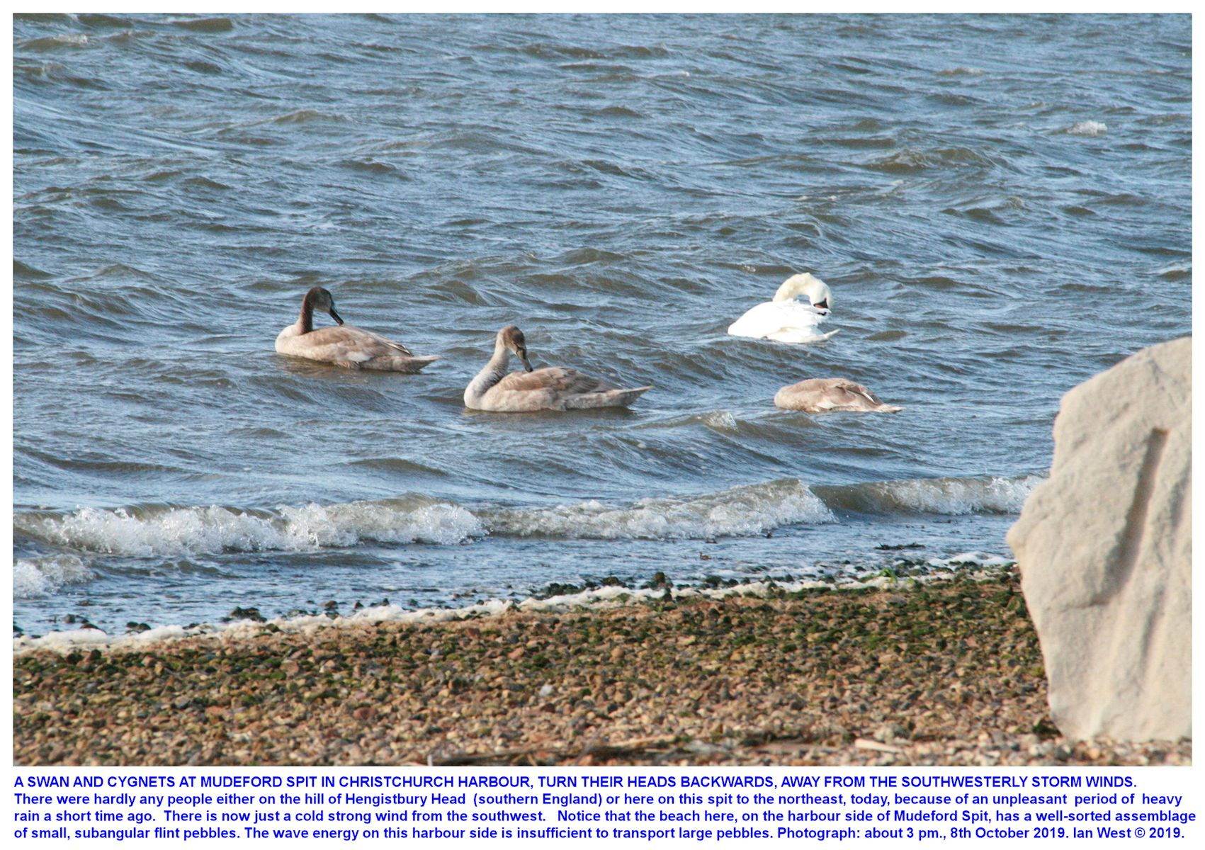Swans on the Christchurch Harbour side of Mudeford Spit, look backwards away from the wind in stormy weather
