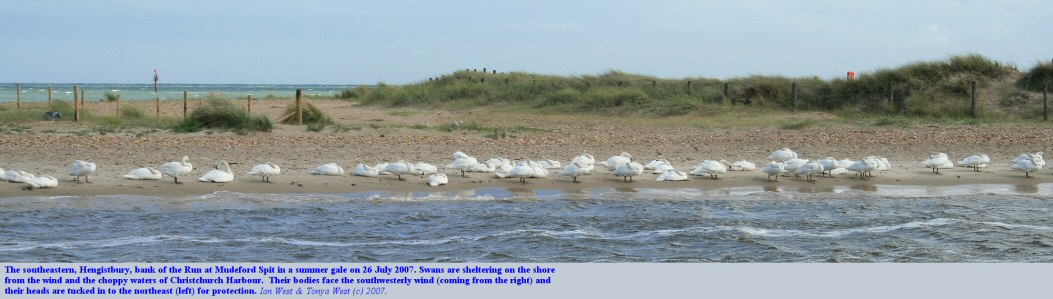 Swans sheltering from a summer gale on the southeastern bank of the Run, at Mudeford Spit near Hengistbury Head, Bournemouth, Dorset, July 2007