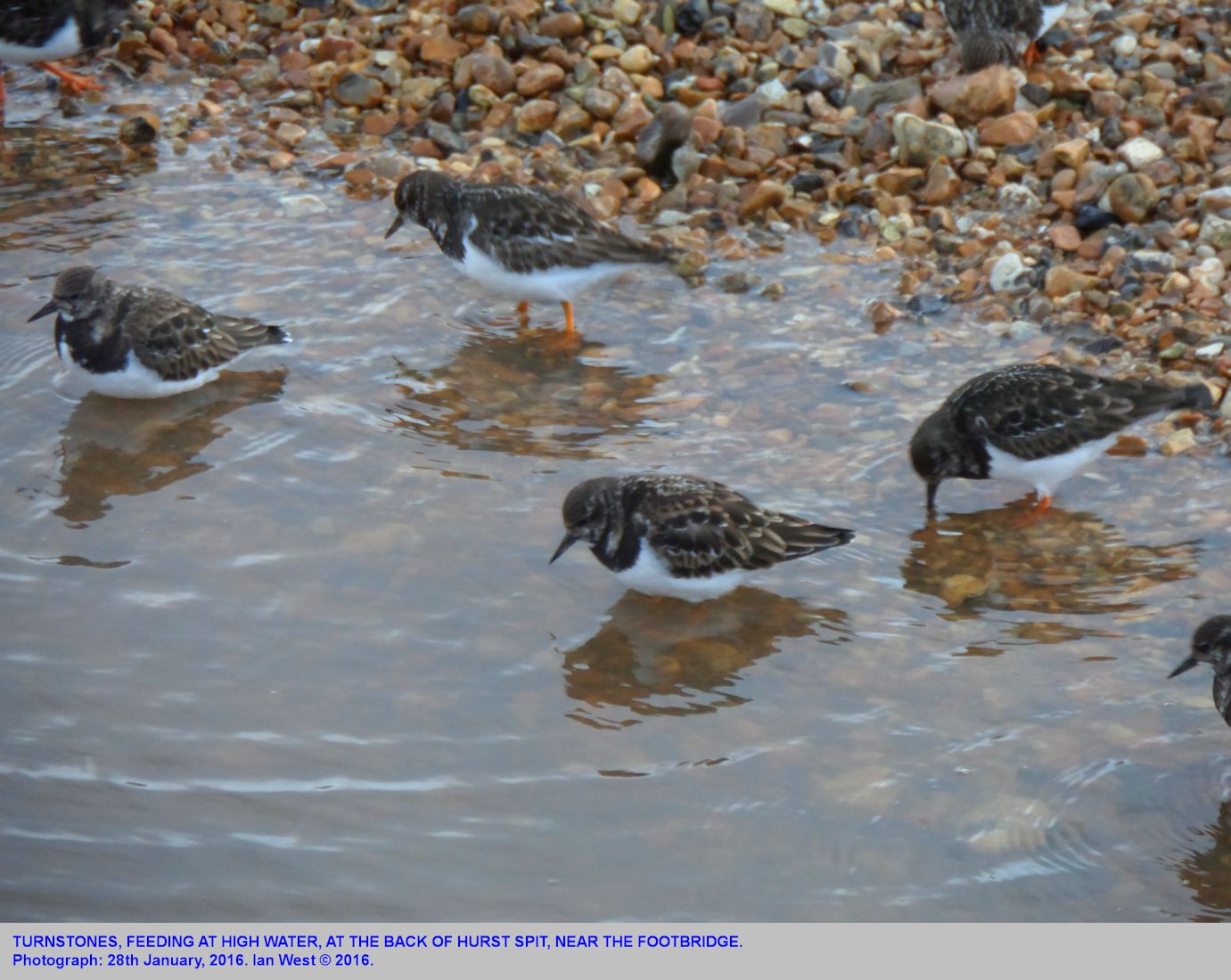 Turnstones feeding in amongst the pebbles at the high water edge, Hurst Spit, harbour side, landward end, adjacent to the footbridge, photographed from the bridge, 28th January 2016
