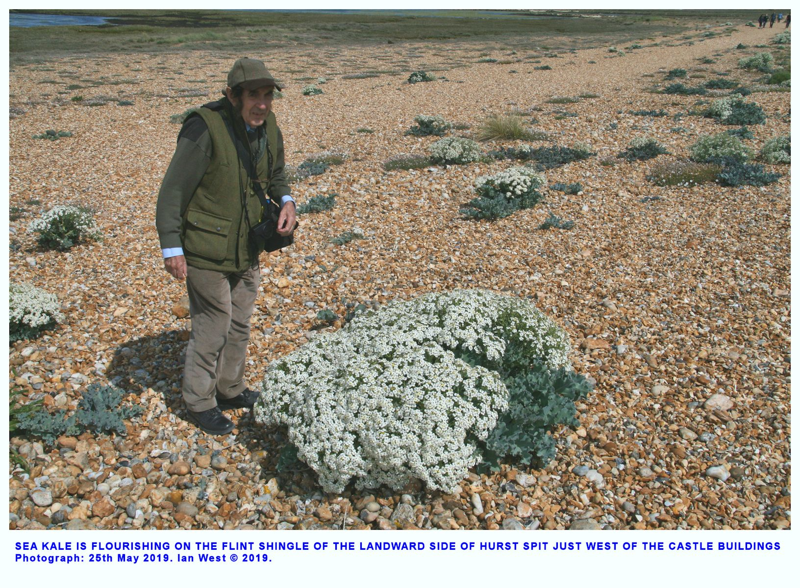 Sea kale continues to flourish on the landward side of Hurst Spit, west of the castle buildings, pm., 25th May 2019