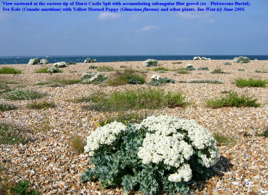 Sea Kale growing on the subangular shingle at Hurst Point the southeastern end of Hurst Castle Spit, Hampshire