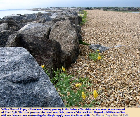 Westward view of the larvikite rock armour, with the Yellow Horned Poppy, at the Milford end of Hurst Spit, Hampshire