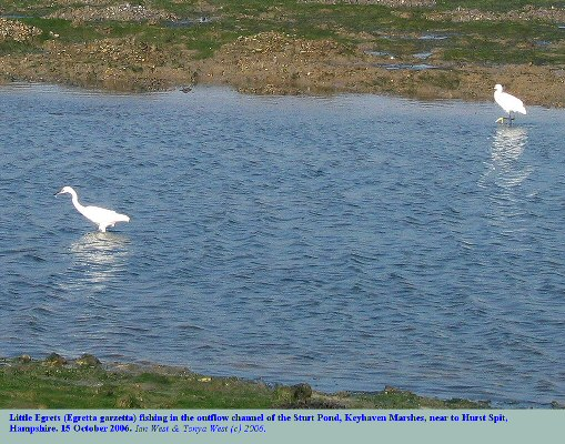 Little Egrets fishing in Mounts Lake near the outflow channel from Sturt Pond, Keyhaven Marshes and Hurst Spit, Hampshire