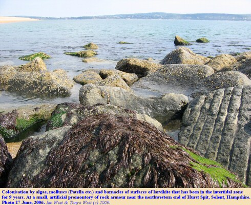 Colonisation of larvikite rock armour by algae, Patella and barnacles in the intertidal zone, Hurst Spit, Hampshire