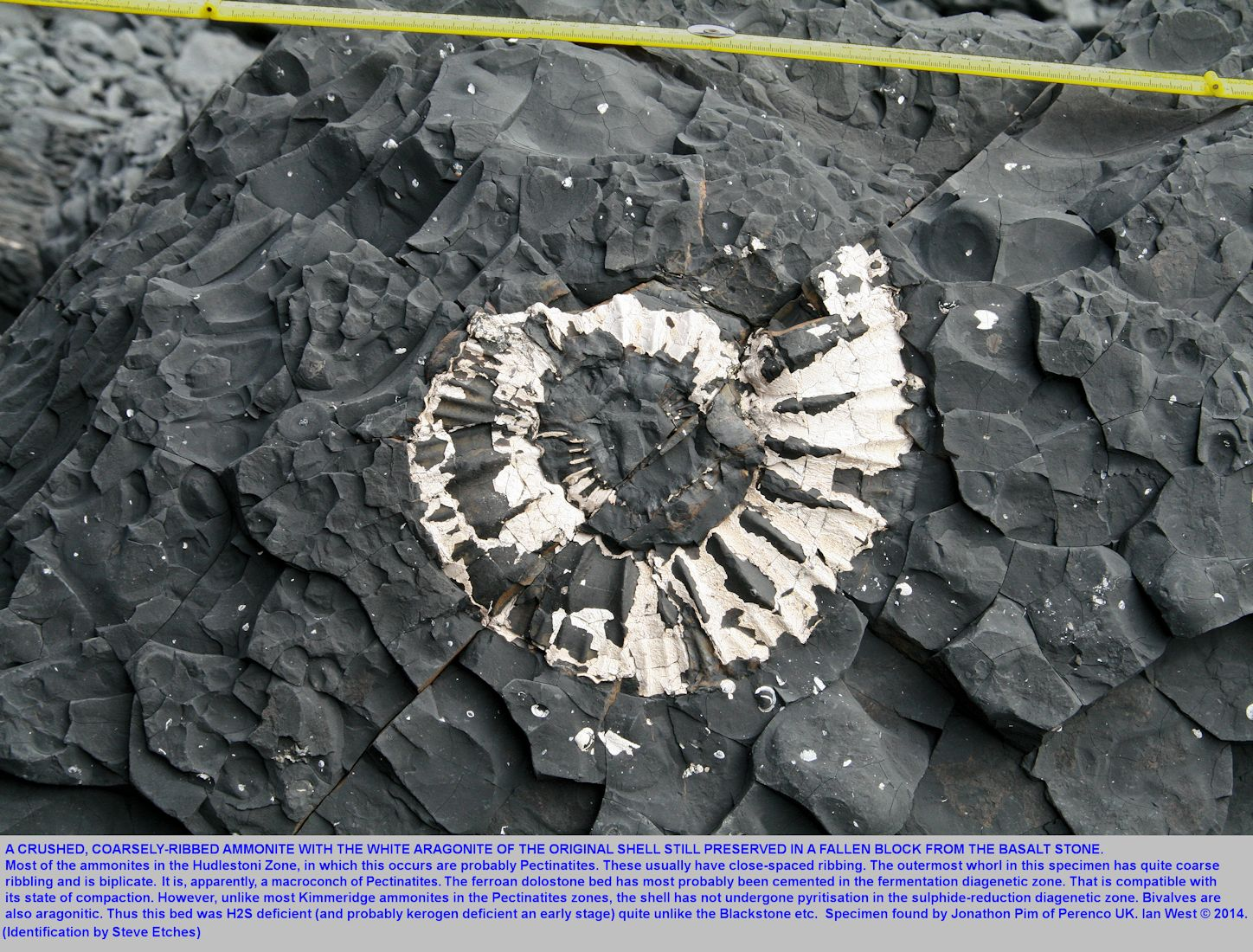 A coarse-ribbed ammonite, still preserved as aragonite, in the Basalt Stone Band, a ferroan dolostone, Hudlestoni Zone, Upper Kimmeridge Clay, Rope Lake Head, east of  Kimmeridge Bay, Dorset, 31st March 2014