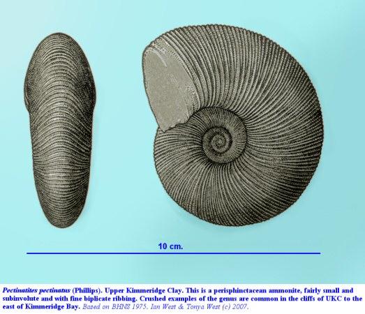 The ammonite  - Pectinatites pectinatus of the Upper Kimmeridge Clay